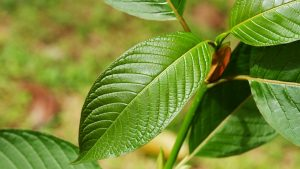 green vein kratom dosage
