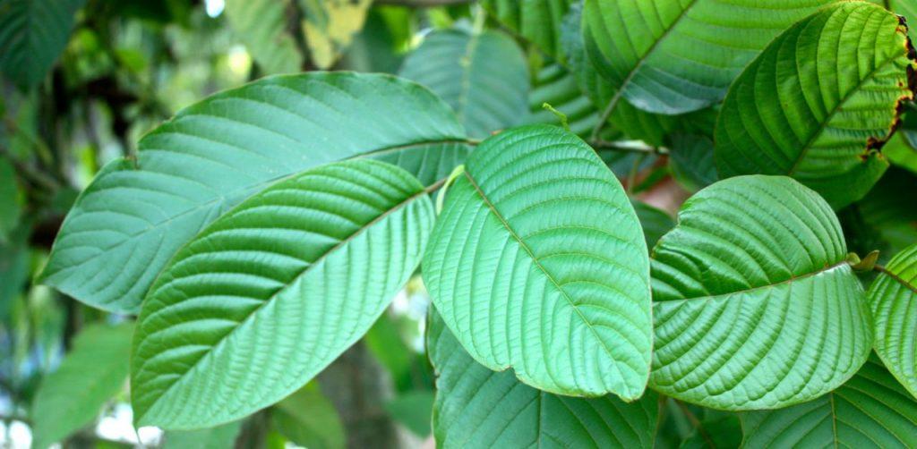 Green malay kratom effects