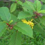 bentuangie kratom leaf